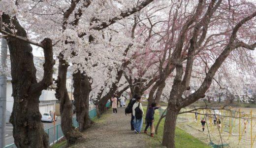 【2019年】仙台一高の桜並木