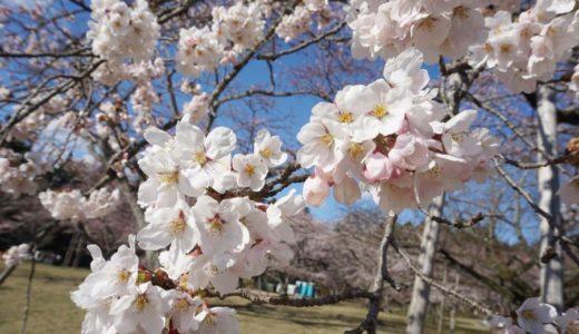 【2019年】仙台市太白区 三神峯(みかみね)公園の桜