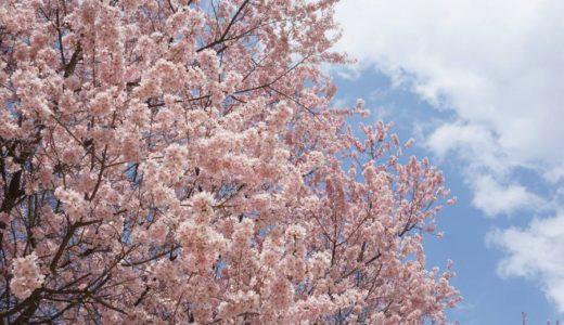 【本町】仙台市 錦町公園の桜2019